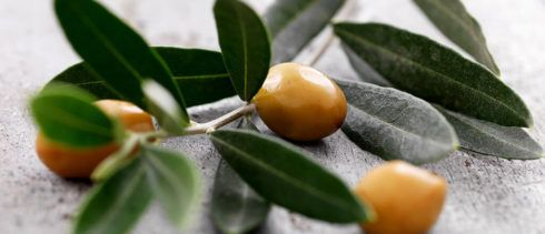 Ch%C3%A1 de folha de Oliveira 490x211 Remédio e Chá para Diabetes plantas medicinais para glicose alta