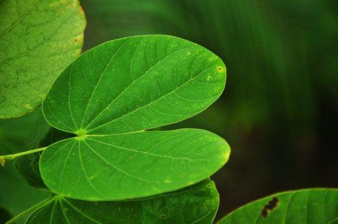 Ch%C3%A1 de pata de Vaca 490x325 Remédio e Chá para Diabetes plantas medicinais para glicose alta