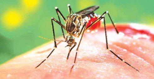 pernilongo da dengue 490x254 Remédio para Dengue Dor no corpo e Febre, Nomes
